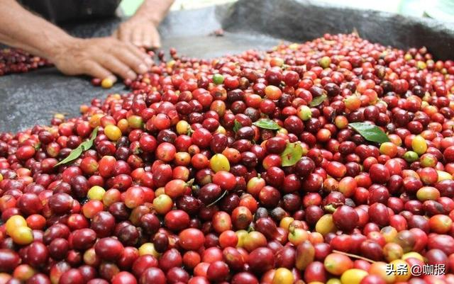 世界上最好的咖啡豆