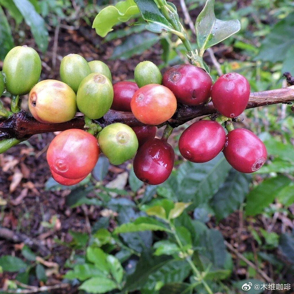 咖啡的品种都有哪些?