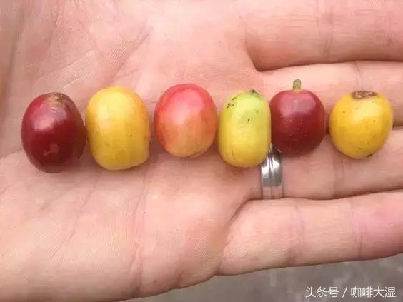 咖啡百科│详解11个最常见的咖啡豆种