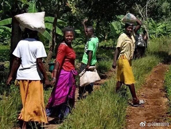 咖啡知识 | 谈谈埃塞俄比亚原生种咖啡豆